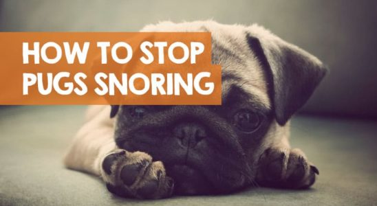 How to Stop a Pug Snoring